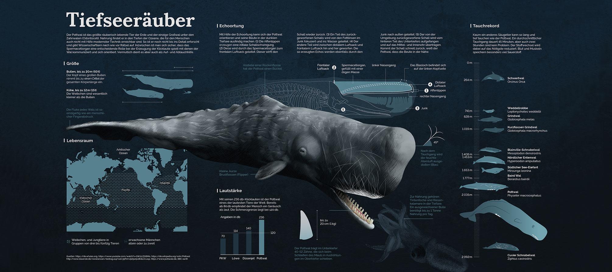 Infografik Pottwal, Infographics Sperm Whale
