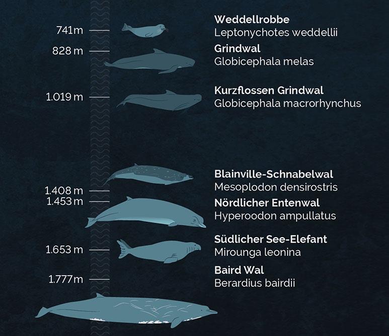 Infografik Pottwal, Infographics Sperm Whale, detail 1