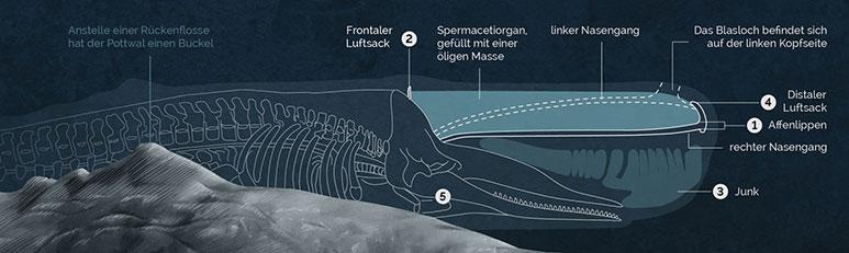 Infografik Pottwal, Infographics Sperm Whale, detail 2