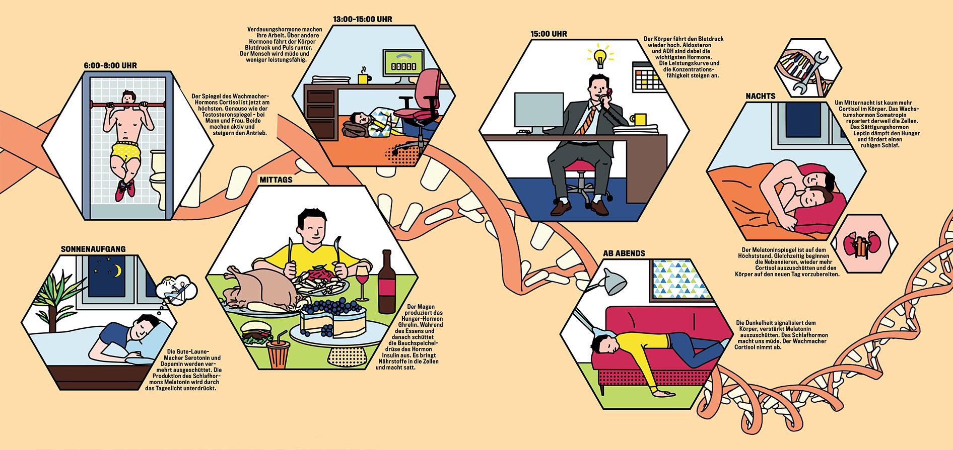 Infografik Hormonausschüttung Tagesablauf, Infographics hormone release
